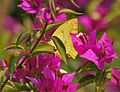 Common Emigrant (Catopsilia pomona) on a Bougainvillea species in Kolkata W IMG 3650.jpg