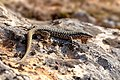 Common Wall Lizard (31331348378).jpg