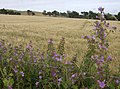 Common mallow and barley - geograph.org.uk - 502263.jpg