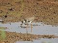 Common redshank-kannur kattampally - 3.jpg