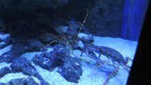 Datei:Common spiny lobster (Palinurus elephas) walking - Gijon Aquarium - 2015-07-02.webm