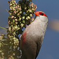 Common waxbill feeding on seeds, Marievale (25081214838).jpg