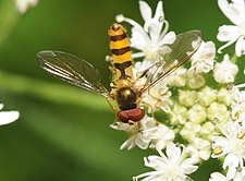 ComputerHotline - Syrphidae sp. (by) (11).jpg