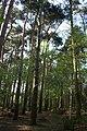 Conifers in Twemlows Big Wood - geograph.org.uk - 792921.jpg