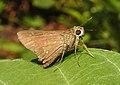 Conjoined Swift Pelopidas conjuncta UN by Dr. Raju Kasambe DSCN4060 (2).jpg