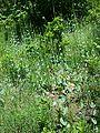 Conringia austriaca sl14.jpg