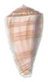 Conus ambiguus shell.png