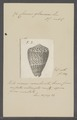 Conus glaucus - - Print - Iconographia Zoologica - Special Collections University of Amsterdam - UBAINV0274 086 03 0011.tif
