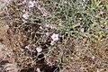 Convolvulus subhirsutus (Convolvulaceae) (33038390412).jpg