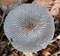 Coprinopsis lagopus 56798242.jpg