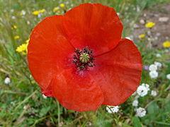 Langage des fleurs 240px-Coquelicot(1)