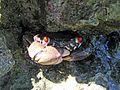 Coral Crab - Flickr - GregTheBusker.jpg