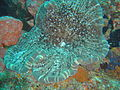 Coral at Manta Reef dsc04339.jpg