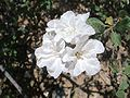 Cordia-parvifolia-20080403.JPG