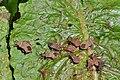 Coreus marginatus 4.jpg