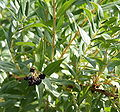 Coriaria myrtifolia 04.jpg