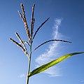 Corn Flower (28575195704).jpg