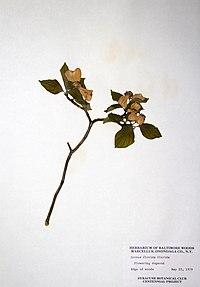 Cornus florida BW-1979-0522-0283.jpg