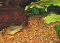Corydoras aeneus PiaH.jpg