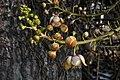 Couroupita guianensis - Murshidabad 2014-11-11 8907.JPG