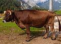 Cow on Ehrwalder Alm.jpg