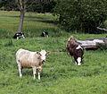Cows at Great Waltham village, Essex, England 05.JPG