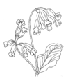 Cowslip (PSF).png