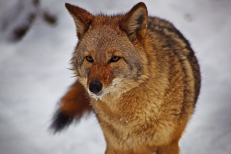 File:Coyote-face-tail-snow-mouth - West Virginia - ForestWander.jpg