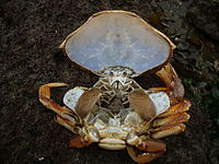 Crab moult with carapace lifted, exposing gills.