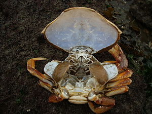 Decapod anatomy - Crab moult with carapace lifted, exposing gills.