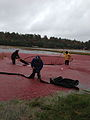 Cranberry Harvest in Middleboro.jpg