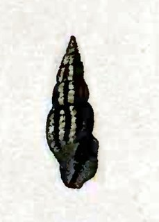 <i>Crassispira guildingii</i> Species of gastropod