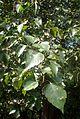 Crataegus phaenopyrum kz1.jpg