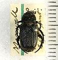 Cremastocheilus knochii LeConte 1853 - 5451329512.jpg