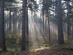 Kasterlee - Image: Crepuscular rays in the woods of Kasterlee, Belgium