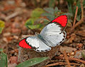 Crimson Tip (Colotis danae)- Male in Hyderabad, AP W IMG 7098.jpg