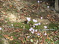 Crocus kotschyanus clump.jpg