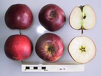 Cross section of Bel-el, National Fruit Collection (acc. 1999-005).jpg