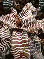 Cryptanthus zonatus BotGardBln1105a.JPG