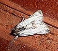 Cuculliinae - Flickr - gailhampshire.jpg