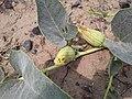 Cucurbita foetidissima (Buffalo Gourd) H2H392H82.jpg