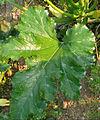 Cucurbita pepo zucchini trattati - cropped.jpg