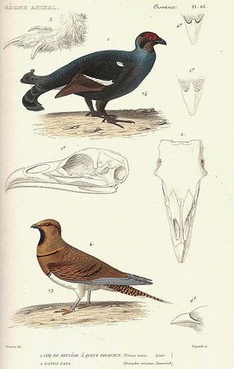 Le Règne Animal - Blackcock and pin-tailed sandgrouse. 1828 edition