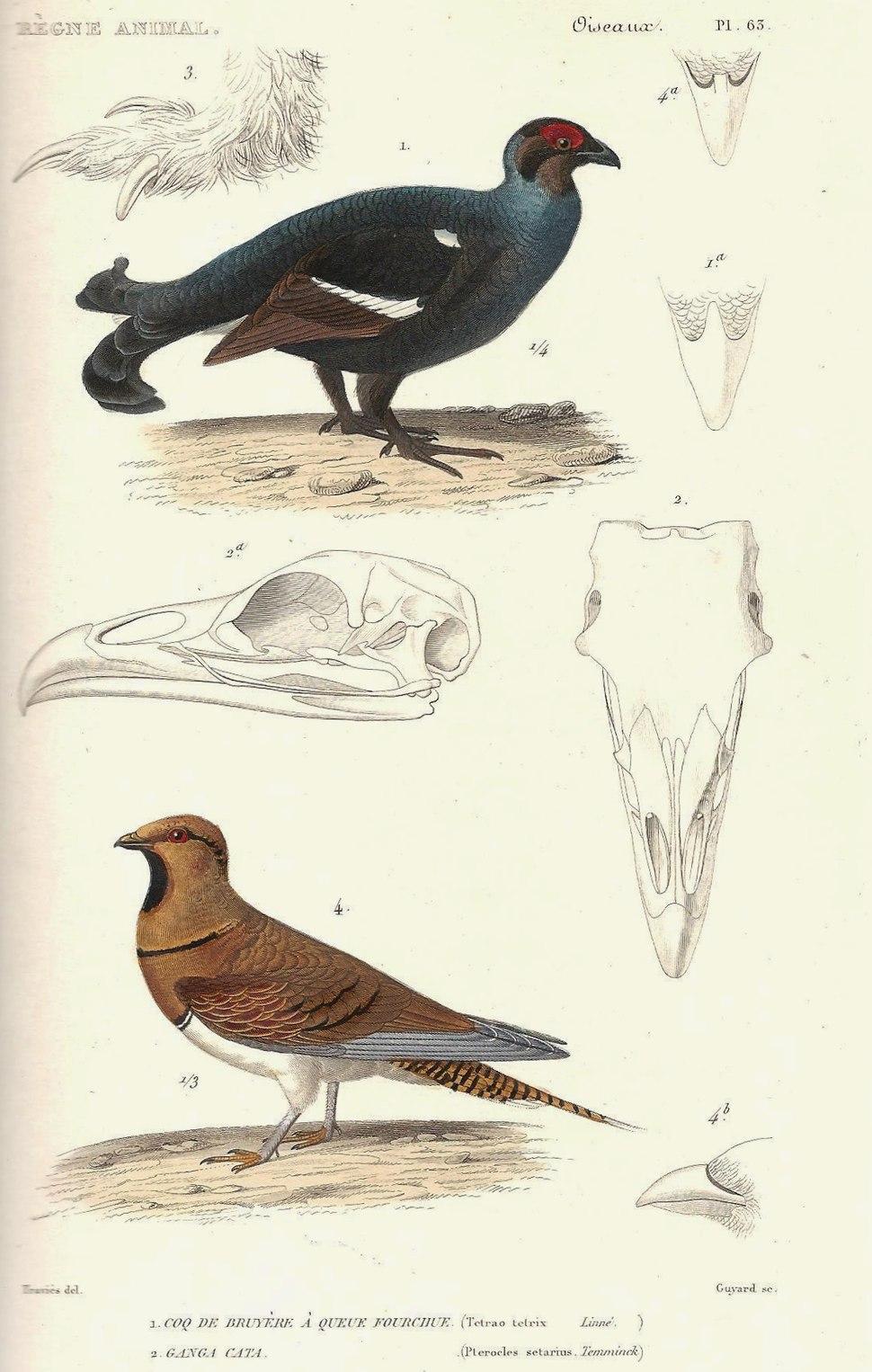 Cuvier-63-Coq de bruyère et Ganga cata