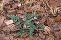 Cymopterus bulbosus - Flickr - aspidoscelis (4).jpg