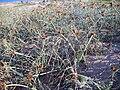 Cyperus capitatus Habitus 2010-7-06 ParquedelasDunasdeTorreLaMata.jpg