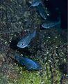 Cyprinodon diabolis FWS 5.jpg