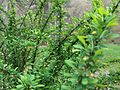 DO - Japanese Barberry (4072419346).jpg