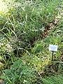 Dactylis glomerata subsp. aschersoniana - Botanical Garden, University of Frankfurt - DSC02419.JPG