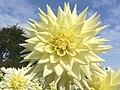 Dahlia - National Botanic Garden of Wales - geograph.org.uk - 845469.jpg